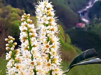Karayemiş(taflan)çiçeği