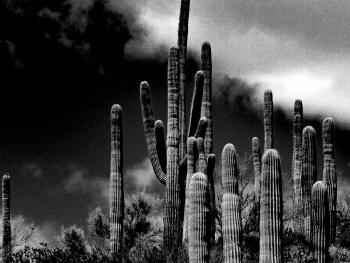 A Mighty Saguaro Cactus