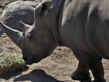 A Rhino Moment