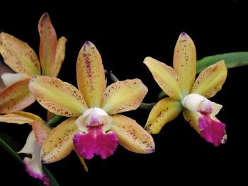 Cattleya granulosa