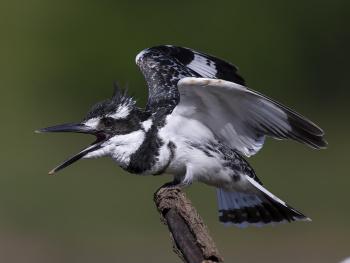 Alaca yalıçapkını » Ceryle rudis » Pied kingfisher