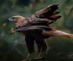 Kızıl şahin - Long-legged buzzard