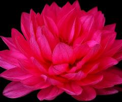 Pink dhalia