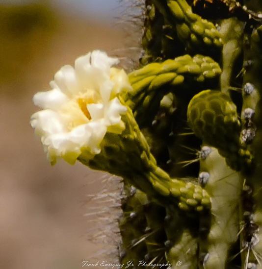 SONORAN DESERT FLOWER