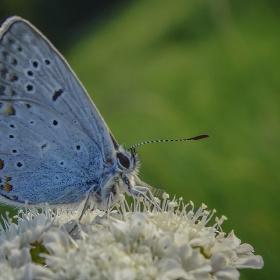 Çokgözlü Mavi 2