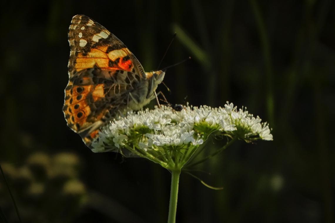 Diken Kelebeği 2