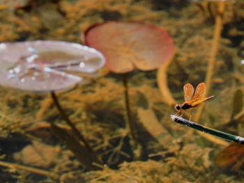 Lake background with Dragonfly