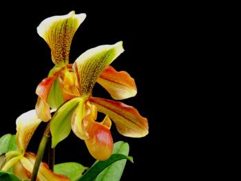 Sapatinho orchids