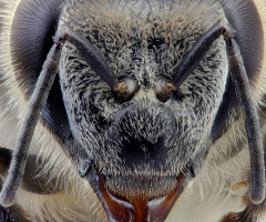 Bee's face
