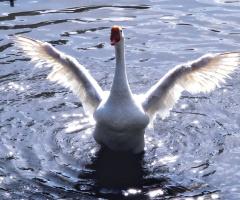 Kaz-Goose