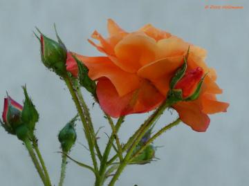 Rosen mit Besuch