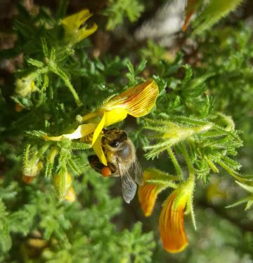 Arı ve polen