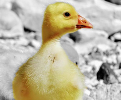 Sarı ördek yavrusu