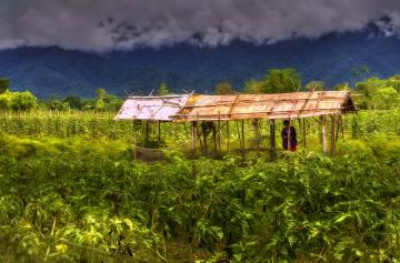 Cassava garden