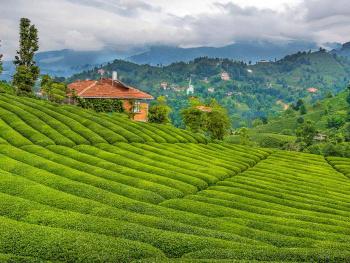 Çay Bahçelerinde.ÇAYELİ.