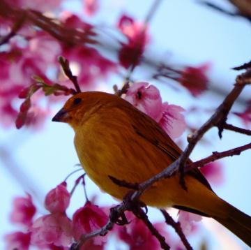 Pássaro amarelo