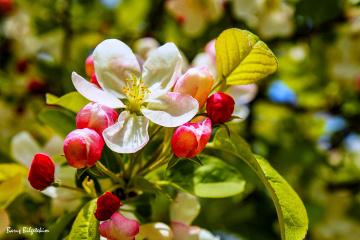 Elma çiçeğin