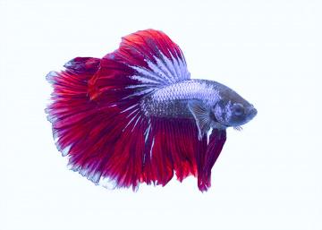 Halfmoon Beta Fish