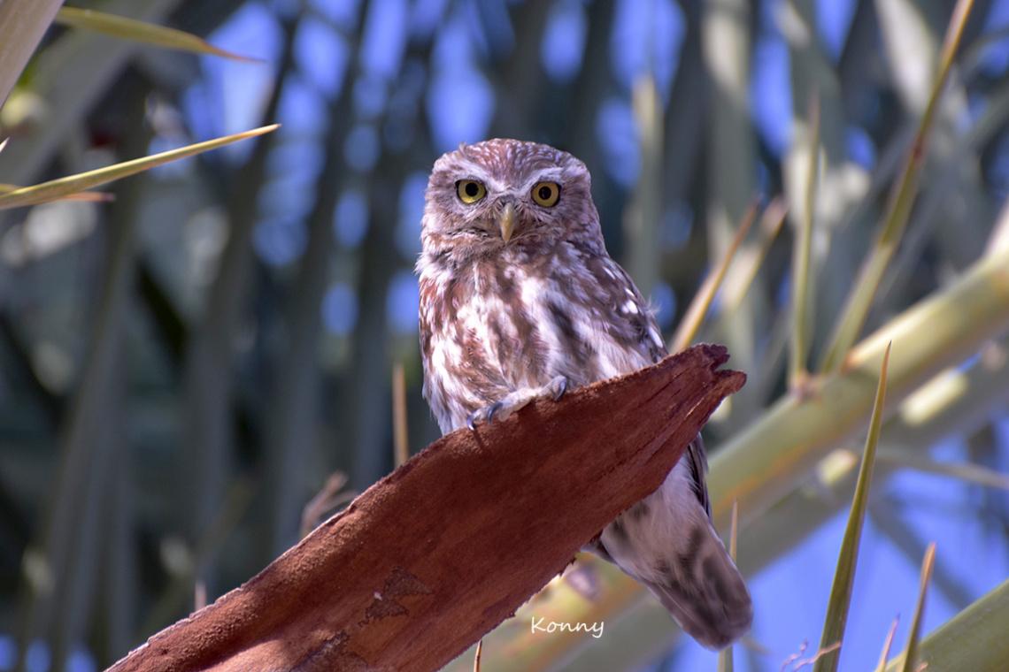 Owl... Käuzchen