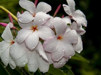 Kathgolap flower
