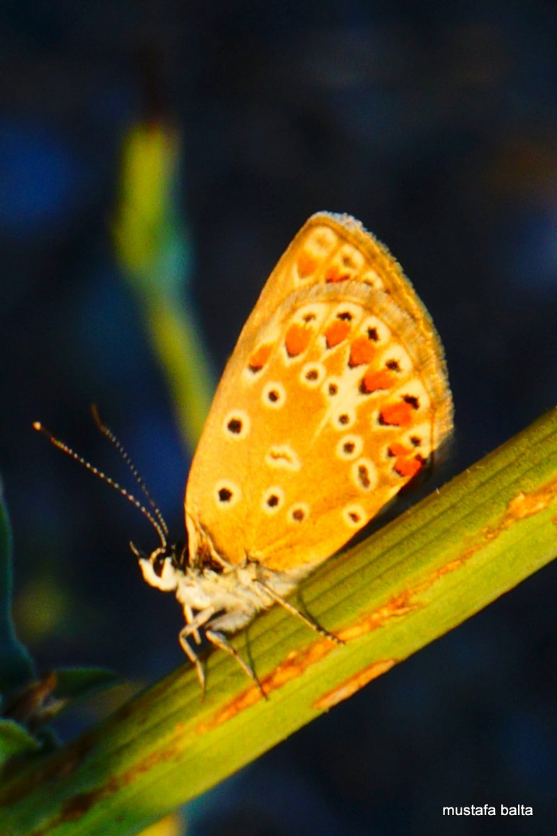 Miniciks Hayatlar  COMMON BLUE