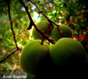 Green Abricots