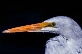 An Egret From Arizona