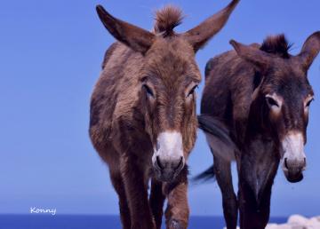 Cyprus Wild Donkeys..