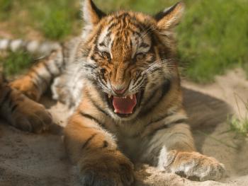 Little Sibirian Tiger