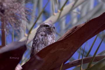 Owl in my garden ...