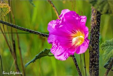 Hatmi çiçeği