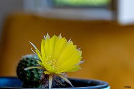 Kaktüsümün Çiçeği