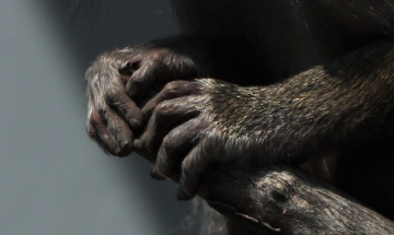 Two Baboon Hands