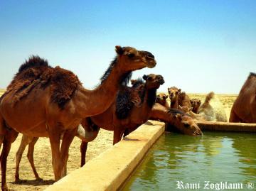 Kamel the ship of Desert
