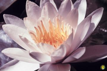 ( Nilüfer çiçeği )