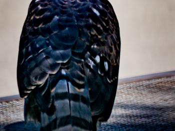 Arizona Swainson Hawk