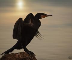 Karabatak - cormorant
