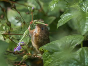 Eurasian Harvest Mouse