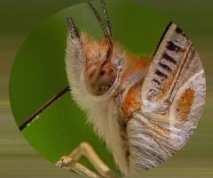 Diken Kelebeği -Detay