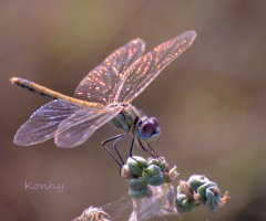 dragon-fly in the morning-light