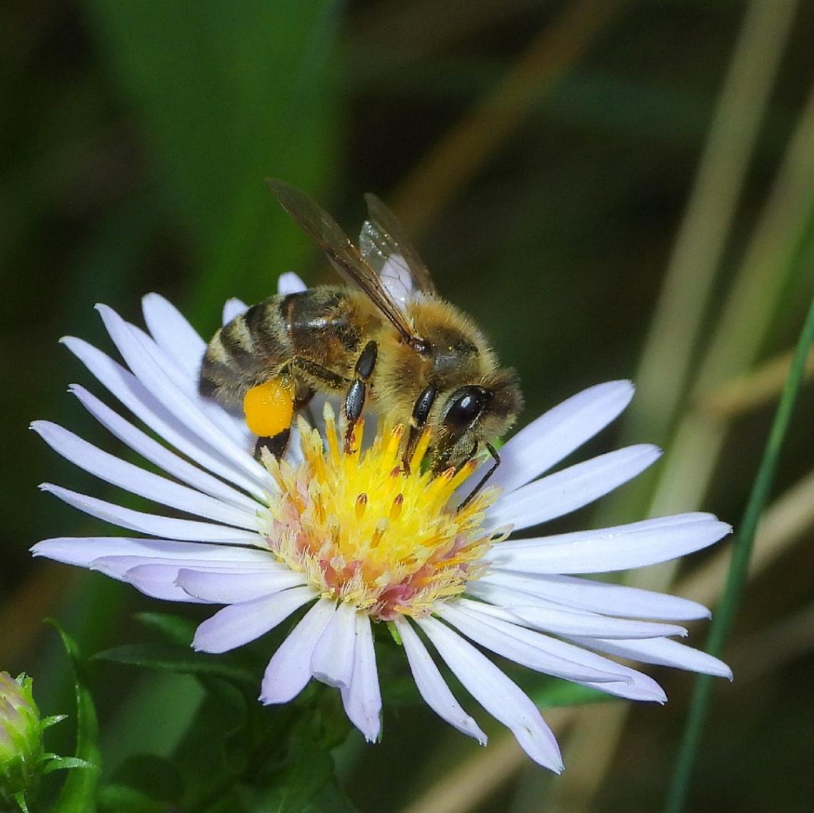 pszczoła miadowa