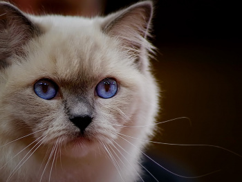 blue  eye cat