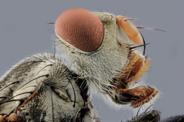 Fly's face