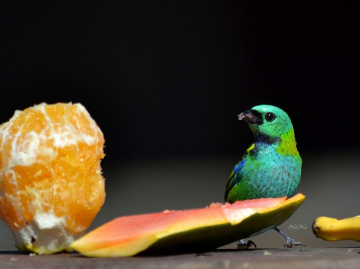 Saíra-sete-cores (Tangara seledon)