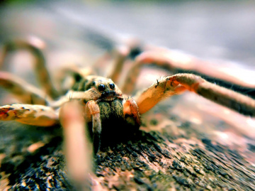Kurt Örümceği_Wolf Spider