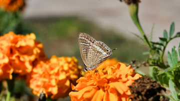 Uzun kuyruklu mavi kelebek