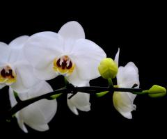White Wanda