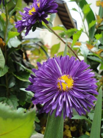 Pétalas lilás