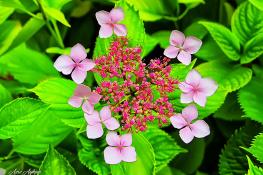 Ortanca Çiçeği ( Hydrangea- Hortensia )