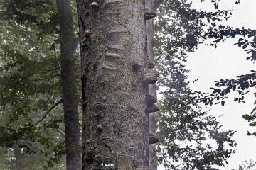 Mandarlı Ağaç